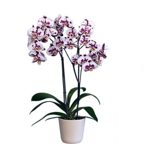 Купить на заказ Заказать Орхидея микс. с доставкой по Костанаю с доставкой в Костанае
